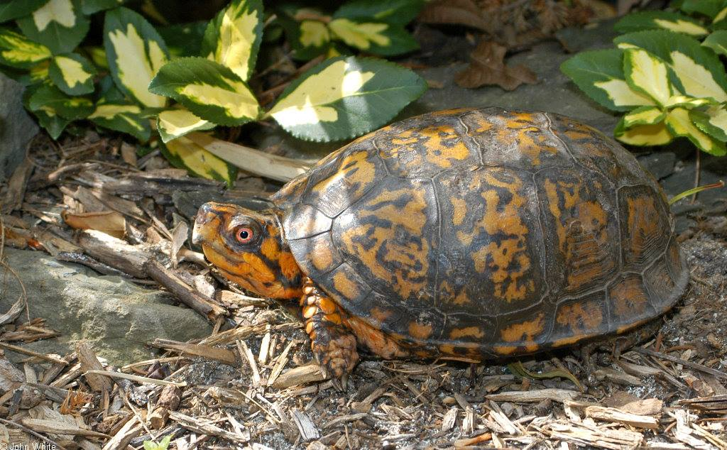 box turtle in the park