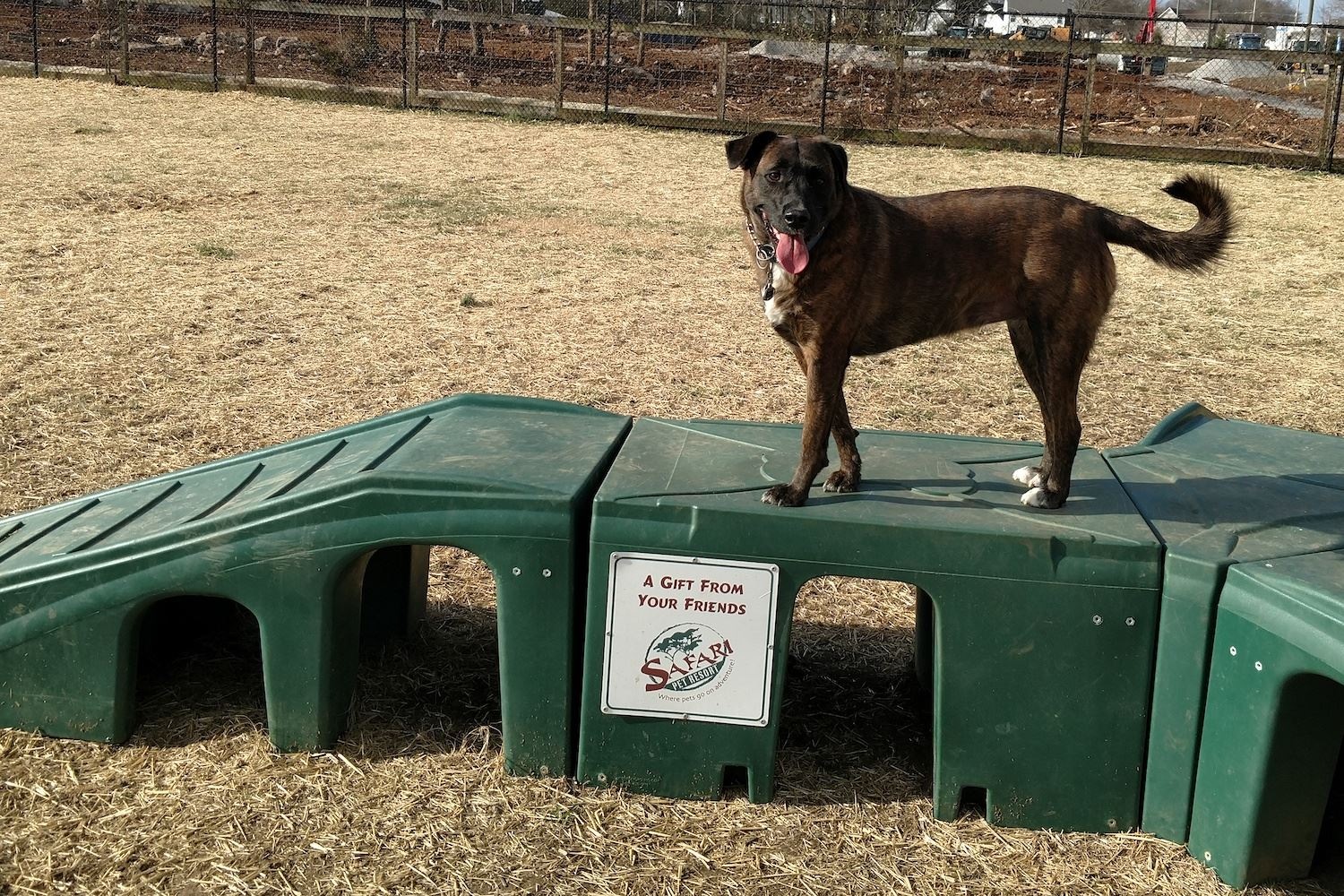 Brown dog standing on green agility platform in fenced area